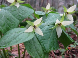 A group of trilliums