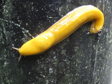 Banana Slugs a pleasent side affect of hiking in the rain