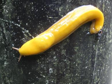 Banana Slugs a pleasent side affect of hiking in the rain