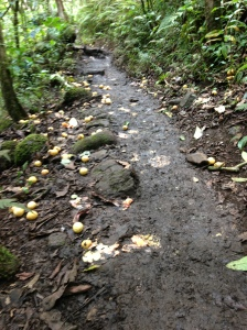 A guava lined trail on the way to Hanakapi'ai Falls.  Yummy.  FYI Don't eat them off the ground.