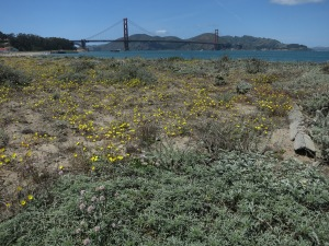 Wildflowers at Crissy Field and the Golden Gate Bridge