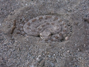Rattle snake disguised as a rock.