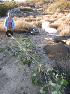 Mary, trying to plant a Cottonwood