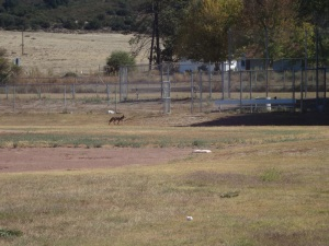Coyote, hunting in broad day-light in the middle of town.